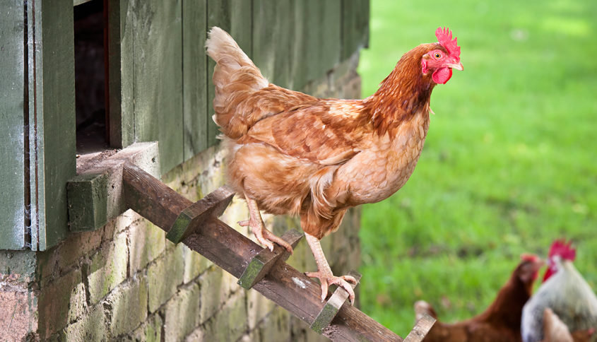 A Beginners Guide To Raising Backyard Chickens - A Beginners Guide To Raising Backyard Chickens ~ Daily New England